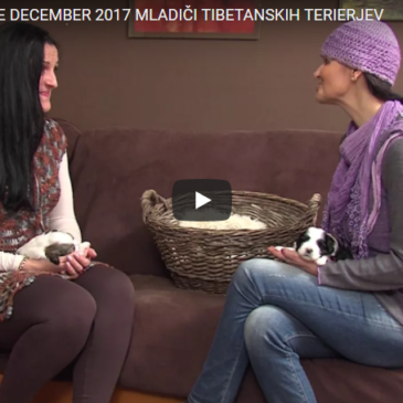 MLADIČI TIBETANSKIH TERIERJEV